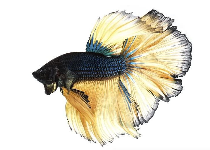 Blue Mustard Betta - Male