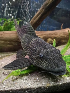 Common Pleco LARGE (PICK-UP ONLY)