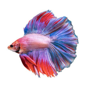 Rose Petal Male Betta