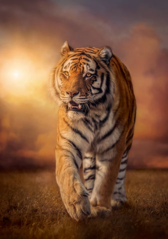 Tiger - Puzzle 1500 pcs - High Quality Collection