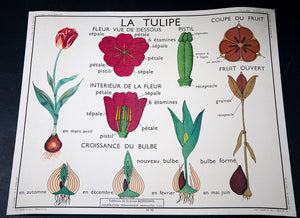 Wonderwall Home Decor Le Bouton D'or & La Tulipe  French Botany Poster