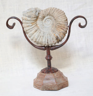Wonderwall Petrified Snail Shell on stand