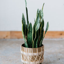 Load image into Gallery viewer, Snake Plant, 6 inch