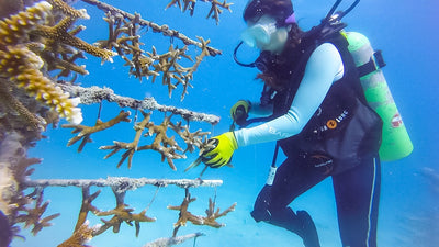 Replanting Coral Reefs