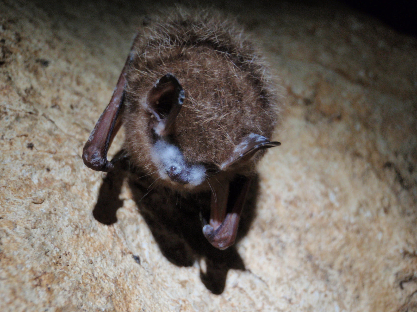 Bats are Dying from White Nose Syndrome