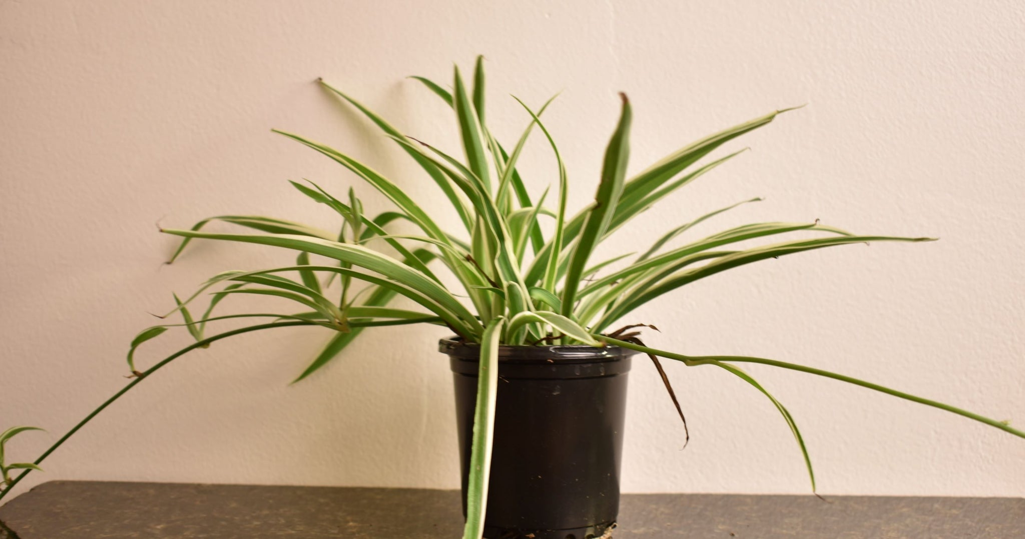 "4"" Spider Plant - Primarily Green Leaves"