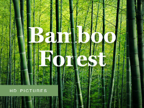 Bamboo Forest HD Pictures