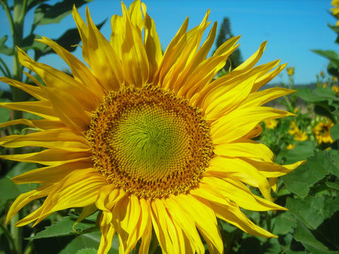 Sunflower, Tarahumara