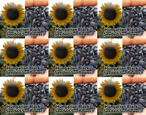 Hungarian Black Seeded Sunflower