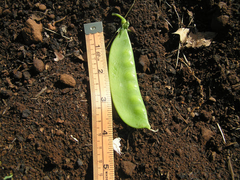 Mammoth Melting Snow Pea