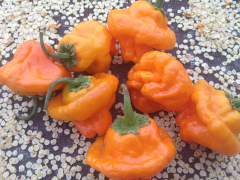 Scotch Bonnet Hot Pepper has great flavor and heat