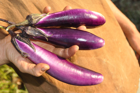 Purple Long Eggplant