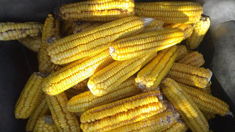 Hickory King Corn