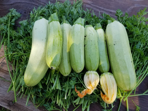 Lebanese Summer Bush Squash