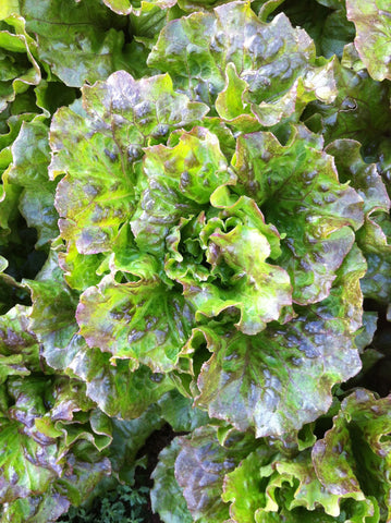 Lovelock Lettuce