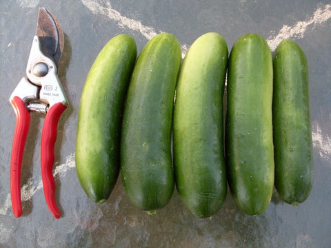 Mid-East Prolific Cucumber