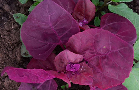 Double Purple Orach