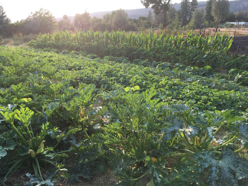 New for 2021- Sow carrots in succession this spring. Minicor carrots are fast, sweet and reliable.