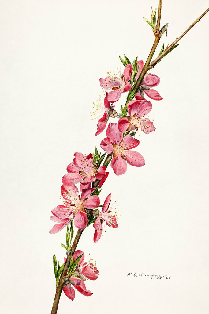 Peach (Prunus Persica) (1924) by Royal Charles Steadman