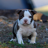 American Pocket Bully Puppy - Chilli