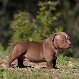 American Pocket Bully Puppy - Remi