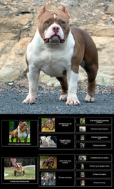 American Bully Puppy - Makavelli