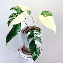 Load image into Gallery viewer, Epipremnum Pinnatum Variegata