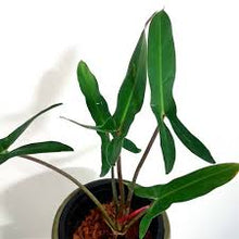 Load image into Gallery viewer, Philodendron Mexicanum