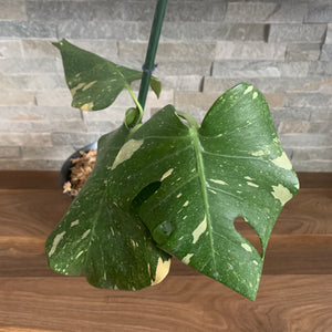 Thai Constellation Monstera - 6""