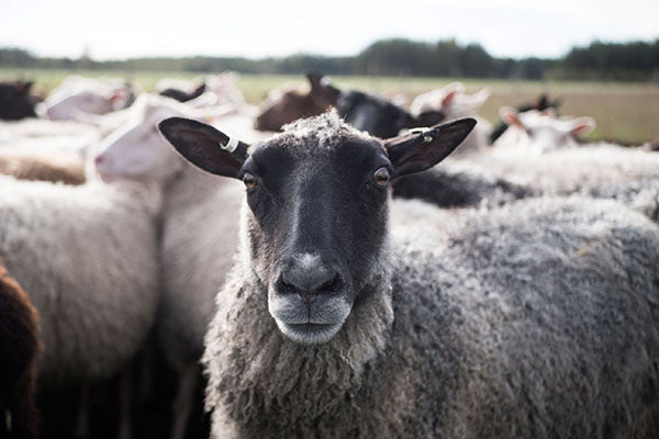 The hat farm uses organic wool from Finnish sheep