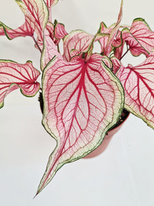 Caladium Sweetheart (Plant)