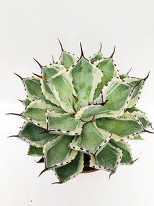 Agave Potatorum Kichiokan