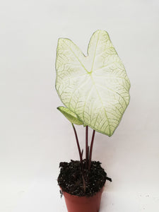 Caladium Florida Moonlight (Tuber)