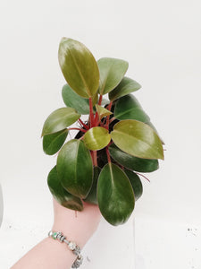 Philodendron Red Congo Petite