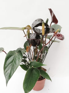 Anthurium 'Black Love'