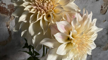 Dahlias - The Ones I'm Growing - 2021