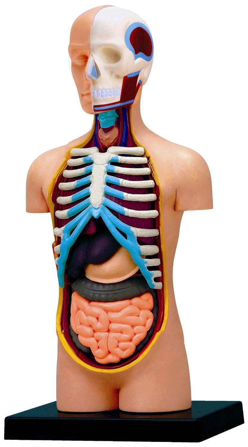 4D Vision Anatomy Puzzle - Human Torso - RightToLearn.com.sg