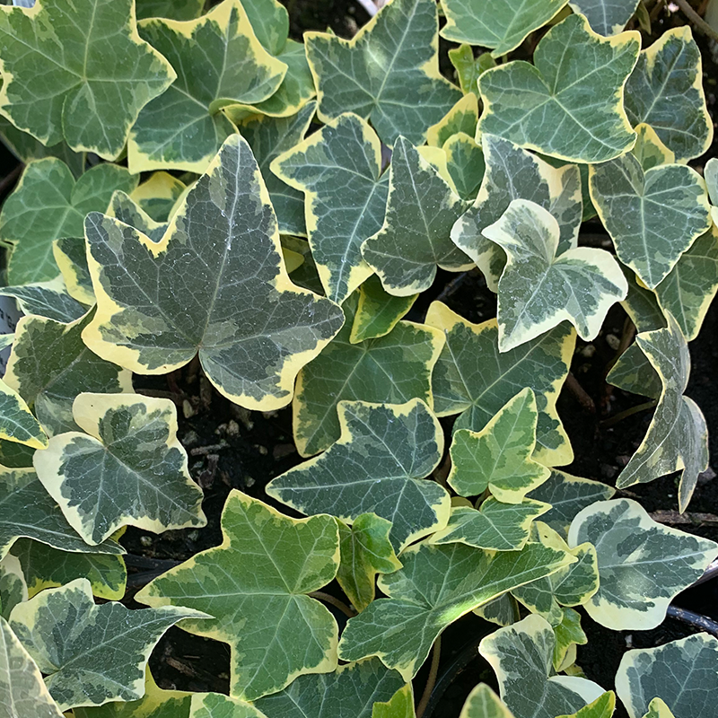 Hedera hel 'Gold Child' 4""