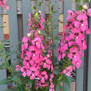 Angelonia 'Perfectly Pink' 6""