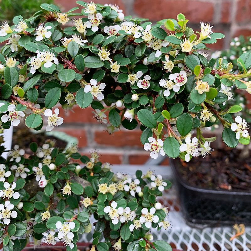Cotoneaster damme 'Streib's Findling' 4""