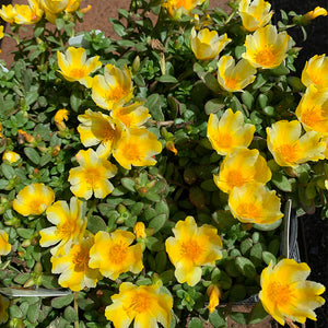 Portulaca 'Lemon Twist' 4""
