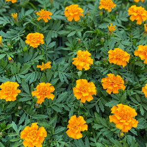 Marigold Durango Orange 6 Pack