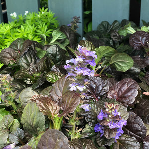 Ajuga rep 'Black Scallop' Q01