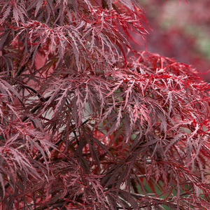 Acer palm dis 'Red Dragon'