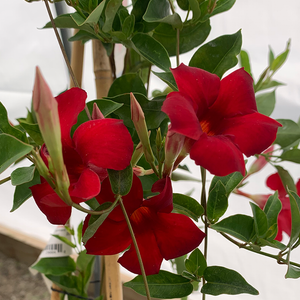 Mandevilla 'Party Crimson' #2 Teepee