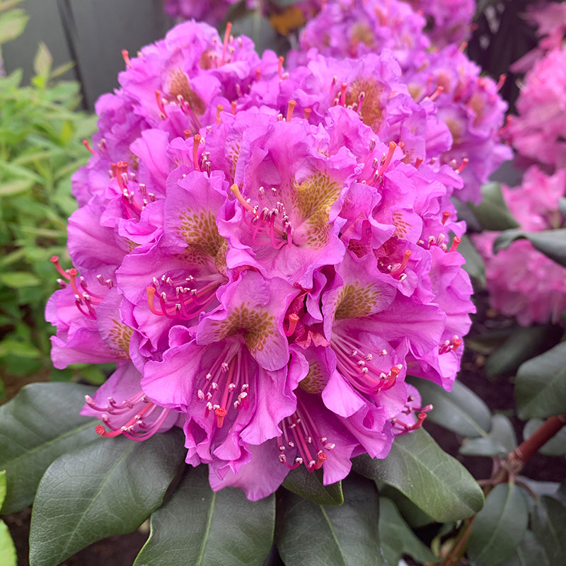 Rhododendron 'Dandy Man Purple'