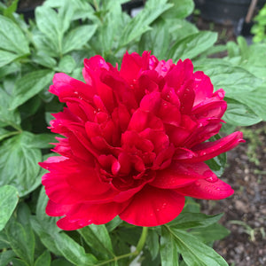 Paeonia lac 'Red Charm' #2
