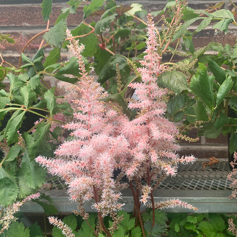 Astilbe ch 'Mighty Phil' G01