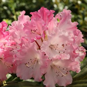 Rhododendron 'Dandy Man Pink'