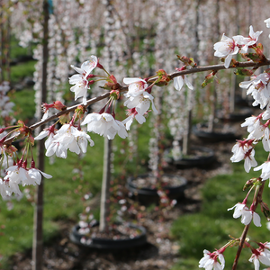 Prunus pen 'Snow Fountain' #15